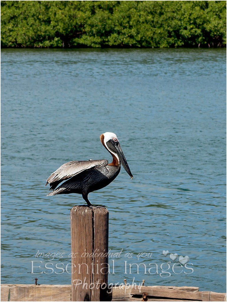 Pelican waiting to catch sight of his dinner