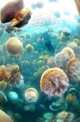ubur ubur, ubur ubur raksasa, penyelam, pemandangan bawah laut, trumbu karang, jellyfish