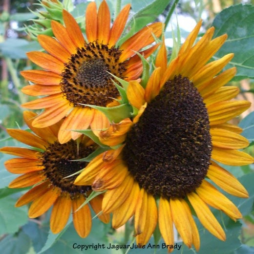 three warm orange sunflower blossoms