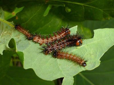 Paradirphia semirosea caterpillar