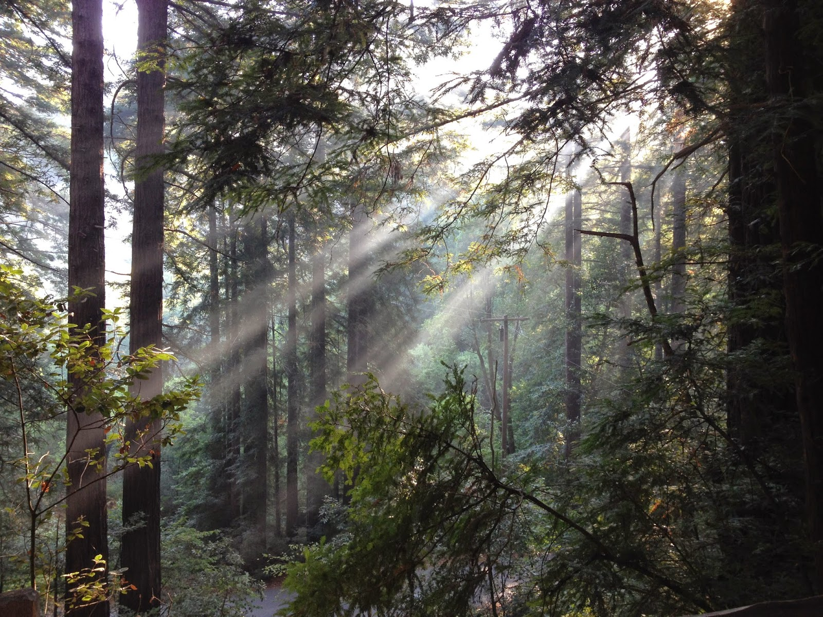 Sunlight in redwoods, Samuel P. Taylor State Park, California by Rachel Medanic