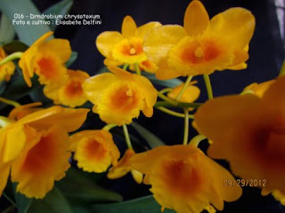 Dendrobium chrysotoxum do blogdabeteorquideas