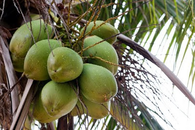 Rain-dappled green coconuts