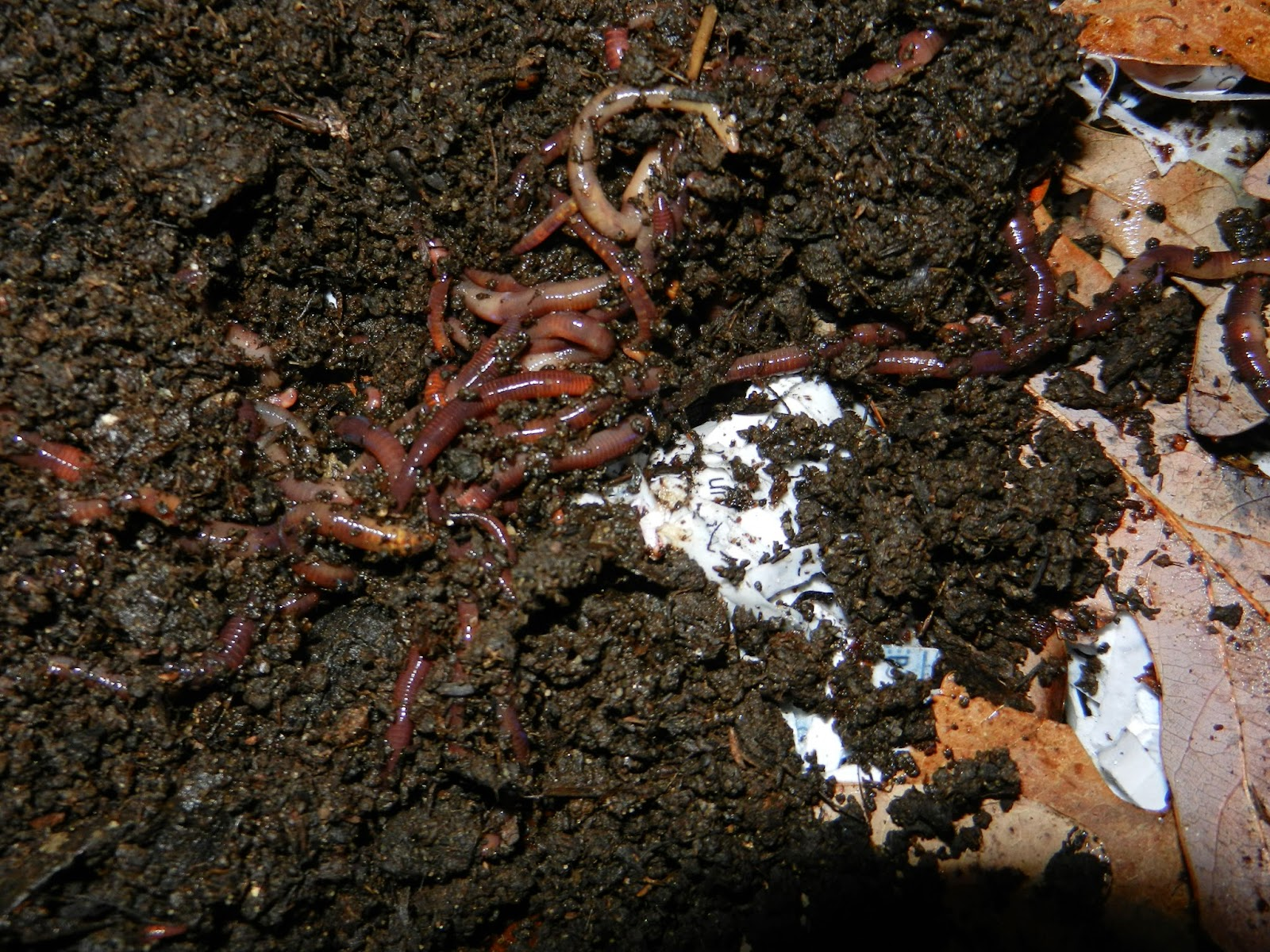 MI Lake Home Garden: Critter of the Month: Eisenia fetida (Redworms ...