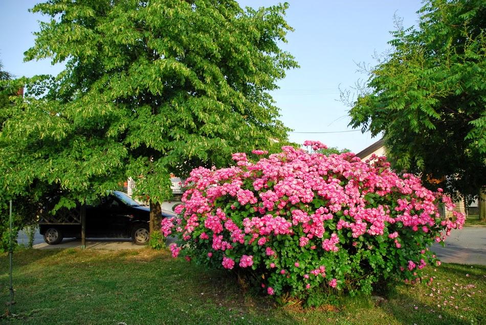 Uredi baštu : Grmolike ruže - ukras u vrtu