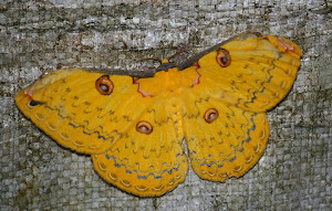 Golden Emperoro moth.