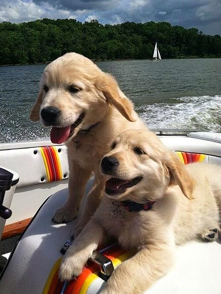 So now the twins are so comfy on boats. They are good swimmers, very protective of their people and love their jobs