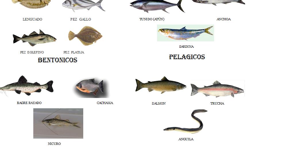 Gastronomia y sabor clasificaci n peces for Tipos de jaulas para peces