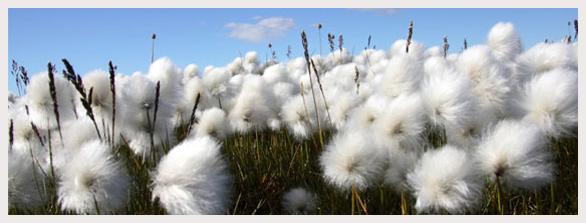 algodão orgânico