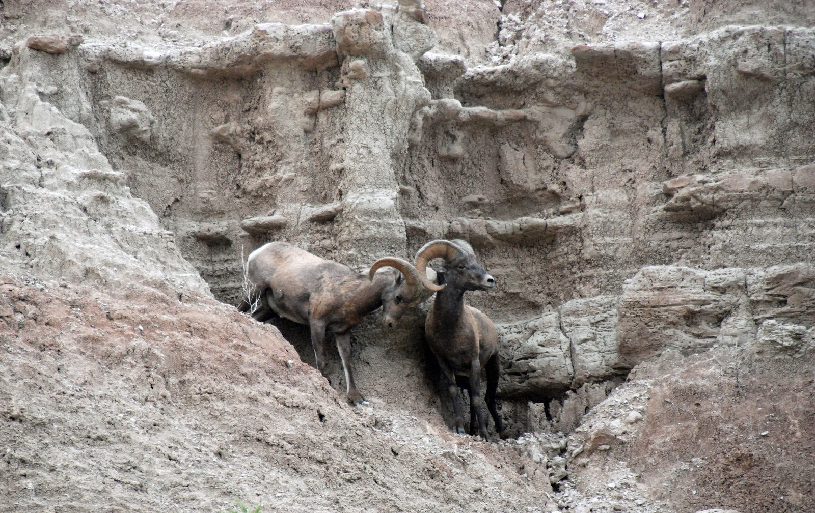 bighorn sheep, badlands, south dakota