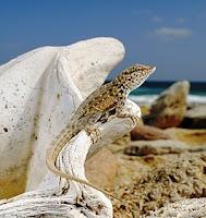 Socotra Lizard