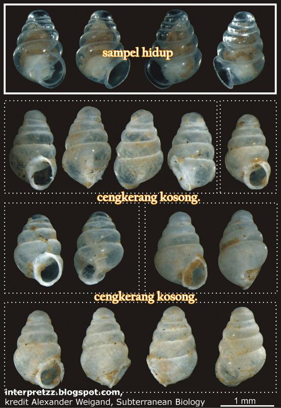 Spesies siput terbaru bercengkerang lutsinar ditemui di Lukina Jama-Trojama.