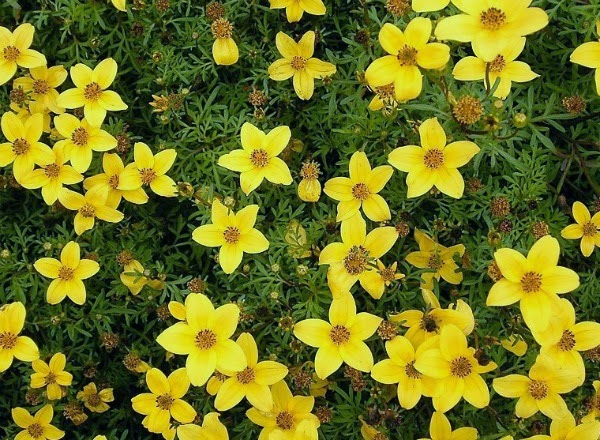 15 plantas con flores u hojas amarillas guia de jardin for Guia de plantas de jardin