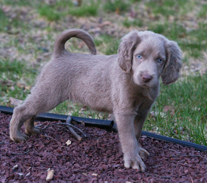 Golden Retriever Weimaraner Mix Weimaraners fit into the
