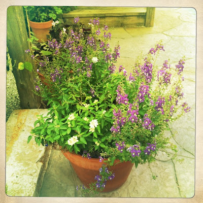 Potted terracotta plant, purple and white flowers