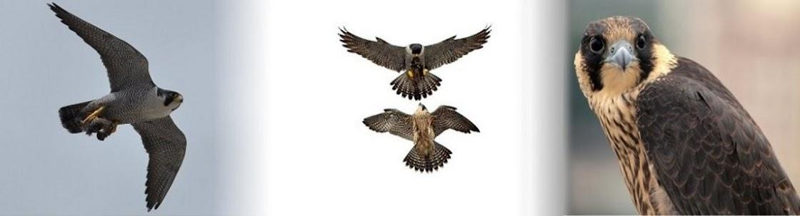 Falco peregrinus ivryus