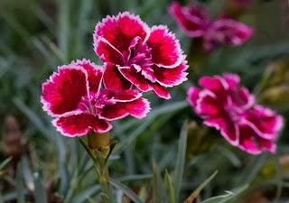 El Clavel es la flor relacionada con el mes de Enero.
