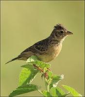 Burung Branjangan Species asli Jawa