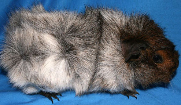 not my image - just one found on google. A search for 'roan guinea pig ...