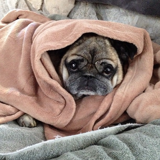 cold pug wrapped up in blankets