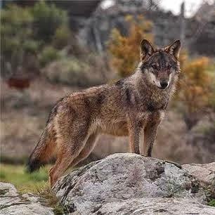 Más vale lobo solitario que perro amaestrado