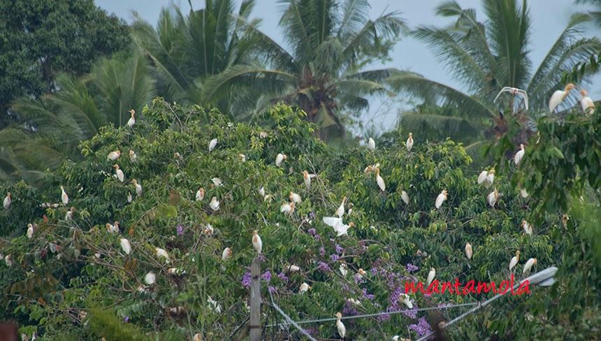 Petulu heronry