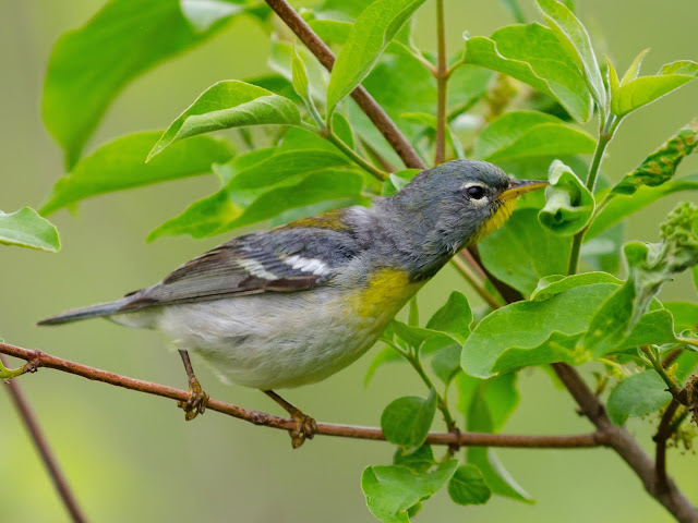 Northern Parula Ohio