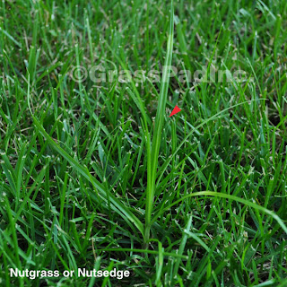 Nutgrass or Nutsedge