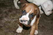 . to Guadalajara and arrived to 7 wiggly, happy, and FAT boxer puppies!