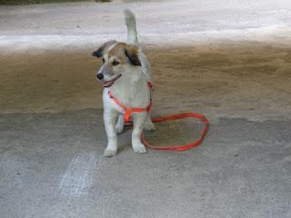 Βρέθηκε στην πυλωτη μιας πολυκατοικιας στην Καισαριανη κοντα στην φοιτητικη εστια φοβισμενο σκυλακι με πορτοκαλι λουρακι.