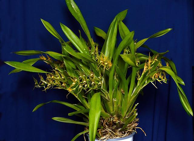 http://2.bp.blogspot.com/-2AFm5uTzw_I/UUnOzwFxa3I/AAAAAAAAKw0/Yqibu4pUaDc/s1600/Brassia+OceanensisDSC_3623.jpg