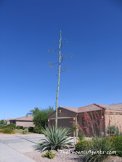 agave cactus in full view