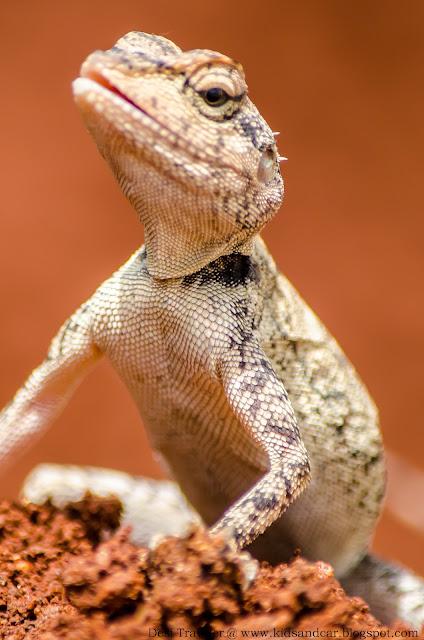 oriental garden lizard in pbel city