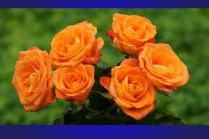 mawar_oranye10802
