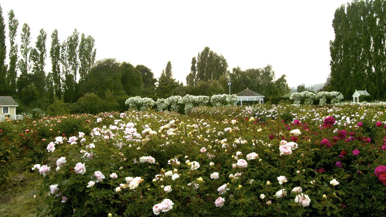 Bay Area Tendrils Garden Valley Rose Ranch