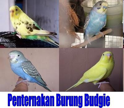 Bukan Doktor Veterinar Penternakan Burung Budgie