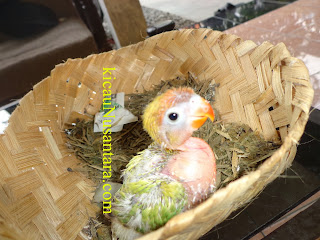 hand feeding lovebird, hand feeding parrots, hand feeding parrrot and bird