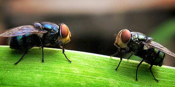 pemanfaatan lalat dalam penyembuhan penyakit manusia dimasa depan, penelitian lalat sebagai media penyembuhan