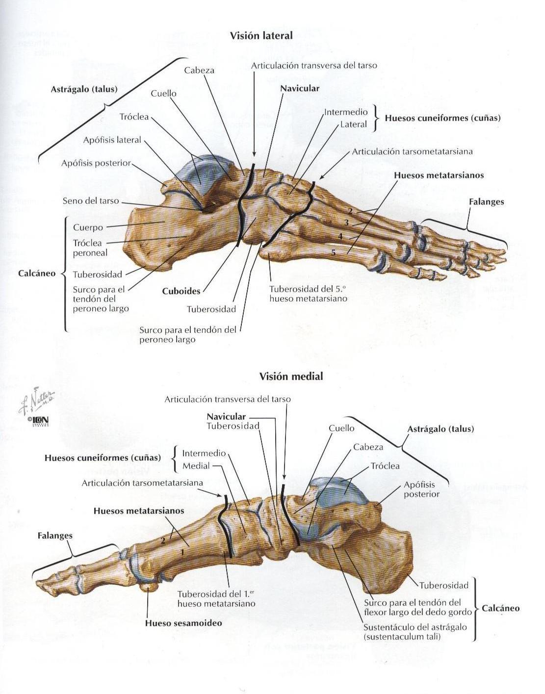 Fantástico Huesos Del Pie De Anatomía Fotos Motivo - Imágenes de ...