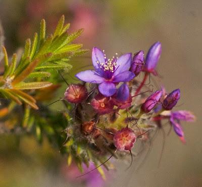 Calytrix leschenaulti