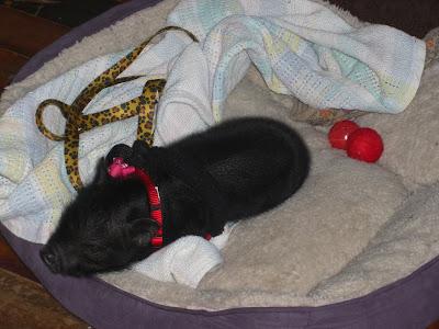Cupcake snuggled up sleeping, she's wearing her cute little harness/leash