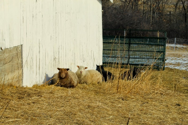 Icelandic sheep enjoy the sunny side of the machine shed at Litengård