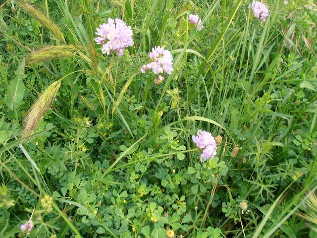 ajo-de-brujas-allium-roseum