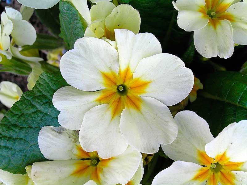 Vera natura primula il primo fiore per scacciare il male for Primule immagini