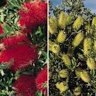 Callistemon, Bunga, Sikat, Botol, Pohon bunga botol, Pink, Merah, Kuning, Putih