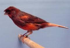 Tujuan Beternak Burung Kenari