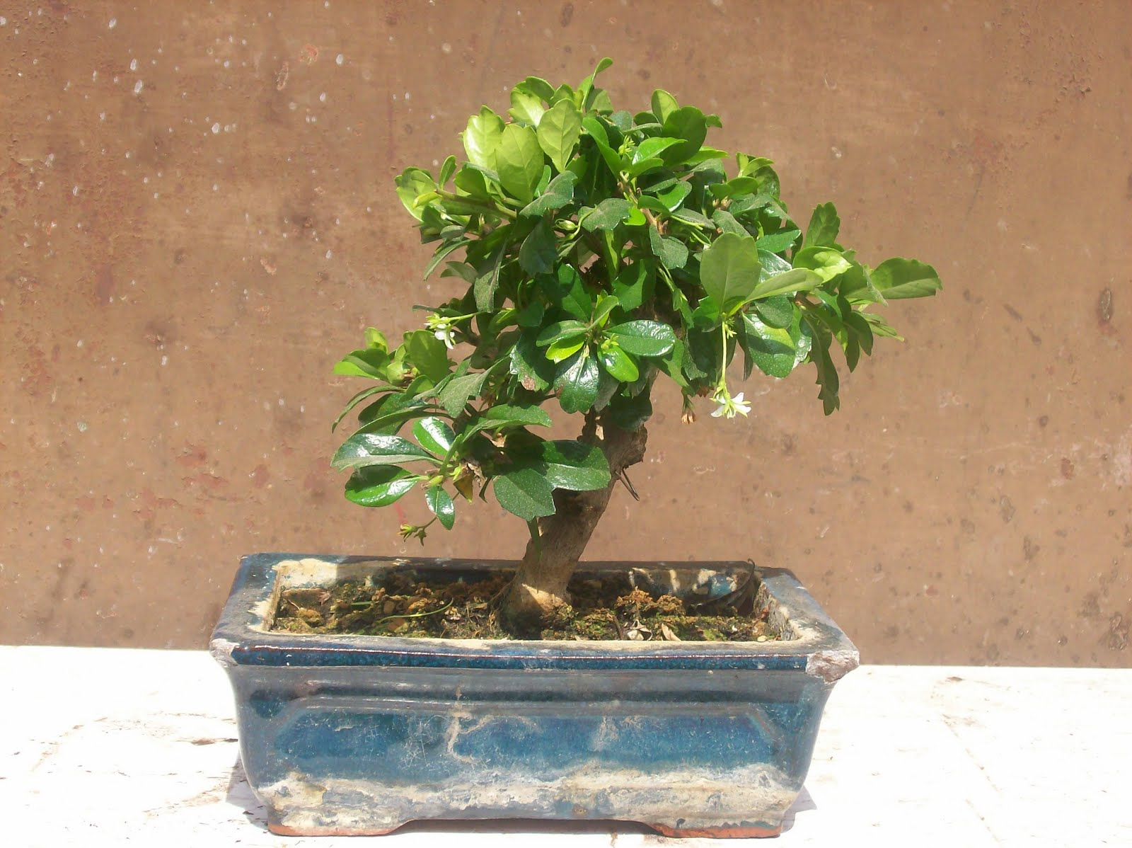RO BONSAI Carmona Microphylla Ehretia Buxifolia Fukien Tea
