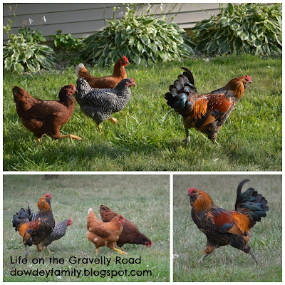 pictures of grown chickens