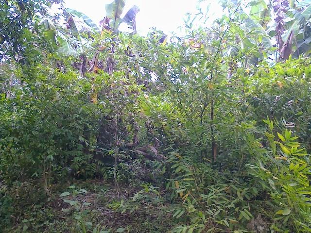 Bamb venezuela el bamb como sistema agroforestal una alternativa de desarrollo mediante el - Cultivo del bambu ...