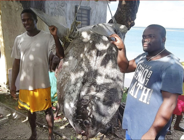 900 pound Sunfish Caught in Jamaica